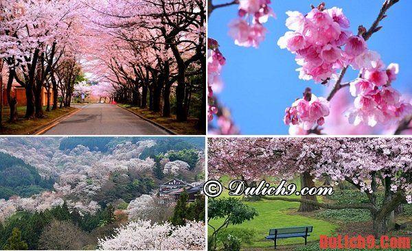 Du lịch Nhật Bản thời điểm nào đẹp nhất? - mùa xuân