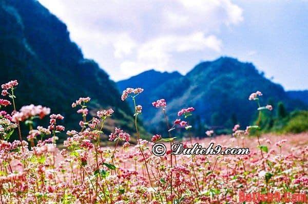 Ngắm hoa tam giác mạch ở đâu đẹp nhất Hà Giang?