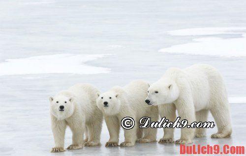 Tham quan gấu bắc cực tại canada.