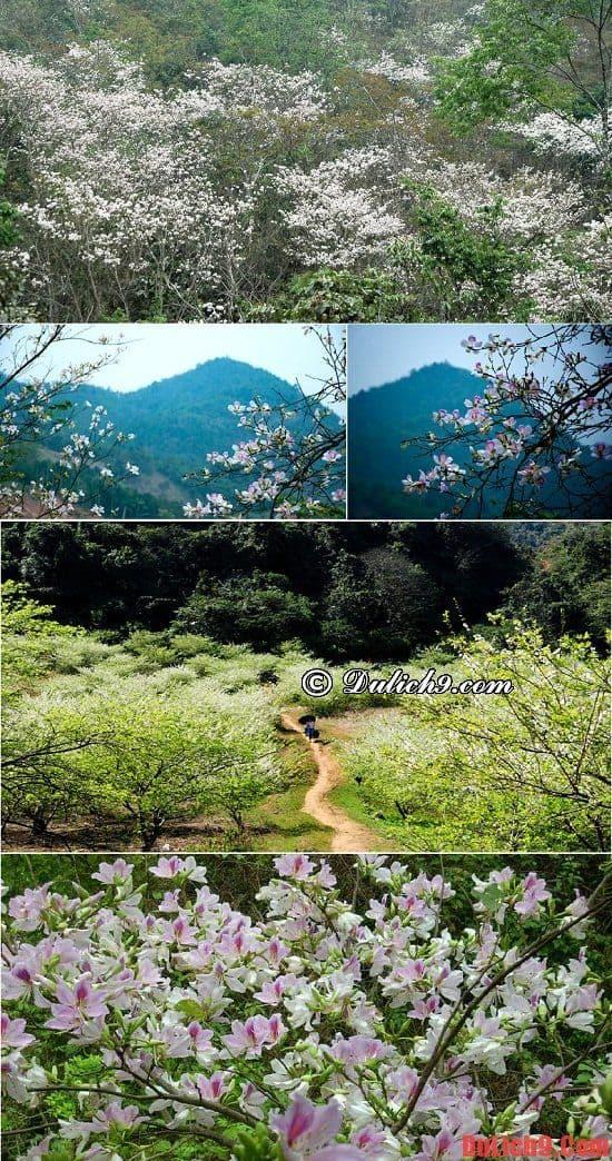 Khám phá và du lịch bụi Mộc Châu mùa hoa ban tự túc, giá rẻ và vui vẻ