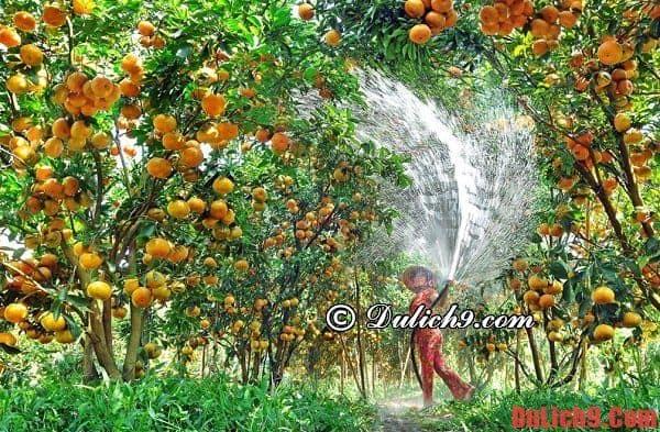 Du lịch Đồng Tháp dịp Tết ghé thăm vườn quýt hồng Lai Vung