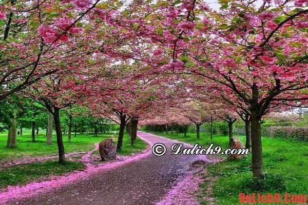 Những hướng dẫn, kinh nghiệm và lưu ý khi du lịch Đà Nẵng dự lễ hội hoa anh đào Nhật Bản 2016