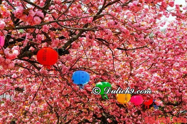 Tháng 4 du lịch Đà Nẵng tự túc tham dự lễ hội hoa anh đào 2016