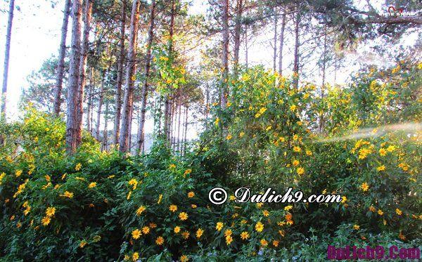 Cung đường ngắm hoa dã quỳ đẹp ở Đà Lạt: Ngắm hoa dã quỳ ở đâu Đà Lạt đẹp, nổi tiếng