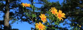 """Du lịch Đà Lạt mùa hoa dã quỳ: Thời điểm & địa chỉ """"săn hoa"""""""
