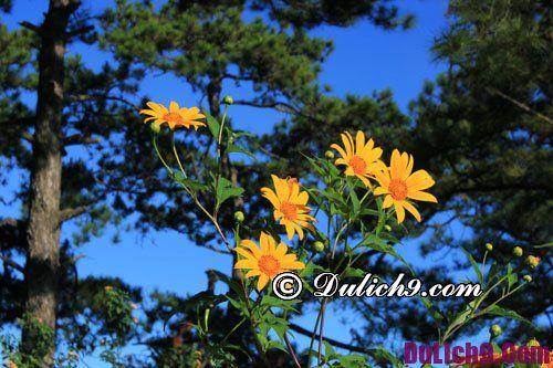 Du lịch Đà Lạt mùa hoa dã quỳ: Thời điểm hoa dã quỳ ở Đà Lạt nở đẹp nhất