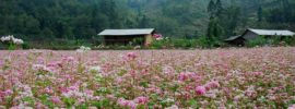 Du lịch Hà Giang mùa hoa tam giác mạch: Thời gian & địa điểm