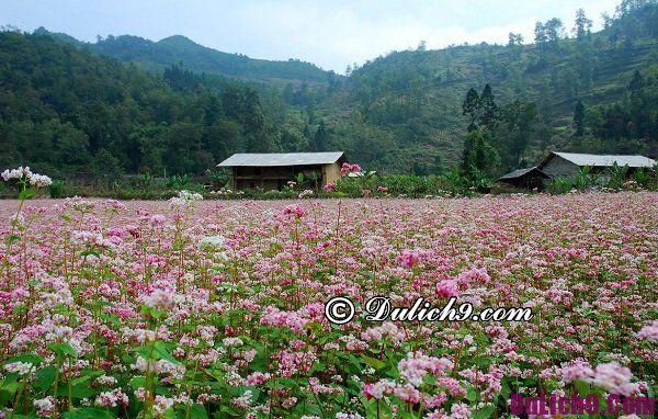 Du lịch Hà Giang mùa hoa tam giác mạch: Hoa tam giác mạch ở Hà Giang nở khi nào?