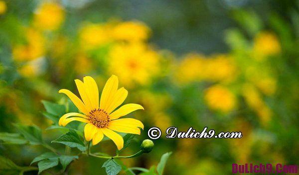 """Những lưu ý khi """"săn"""" hoa dã quỳ ở Đà Lạt: Những địa điểm hoa dã quỳ nở đẹp nhất Đà Lạt"""