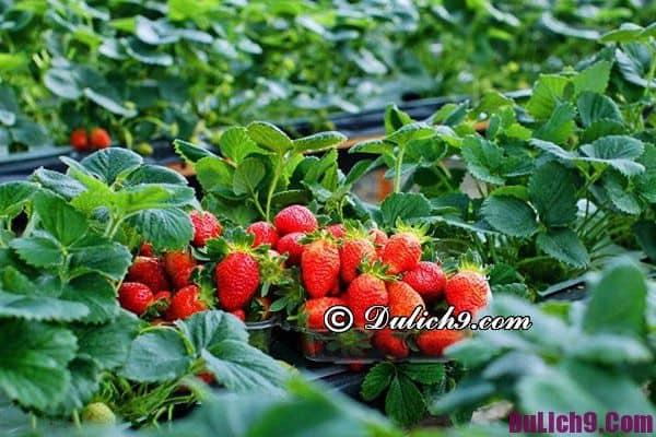 Những vườn dâu tây nổi tiếng ở Đà Lạt: Đà Lạt có vườn dâu tây nào đẹp, nổi tiếng