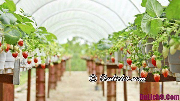 Địa chỉ vườn dâu ở Đà Lạt: Du lịch vườn dâu tây Đà Lạt