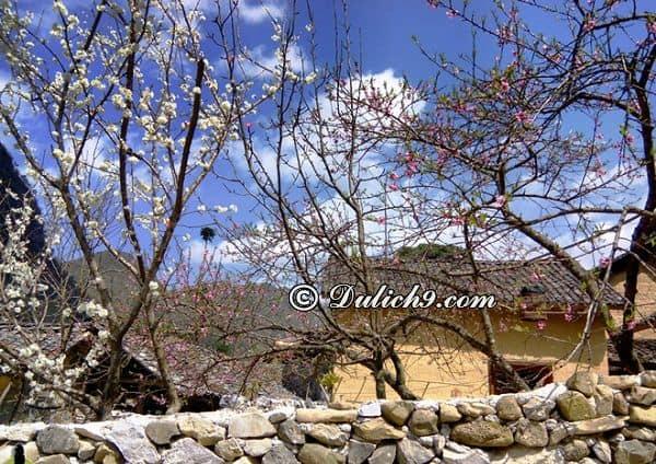 Thời điểm lý tưởng đi du lịch Mộc Châu: Du lịch Mộc Châu mùa hoa đào, hoa mận (tháng 11, tháng 12, tháng 1 và tháng 2 Âm lịch)