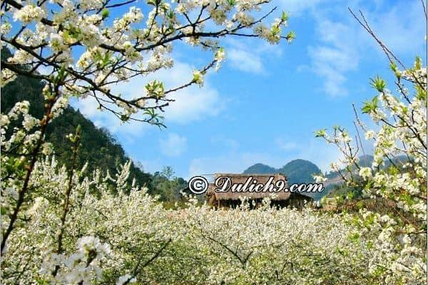 Đi du lịch Mộc Châu mùa hoa ban (tháng 3 và tháng 4): Nên đi phượt Mộc Châu mùa nào, tháng mấy?