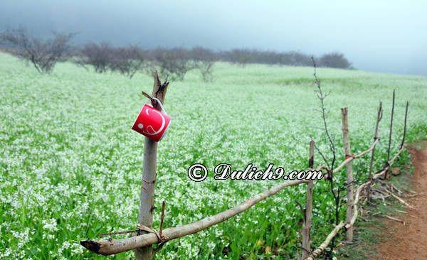 Du lịch Mộc Châu mùa hoa cải trắng tháng 11: Du lịch Mộc Châu mùa nào đẹp nhất?