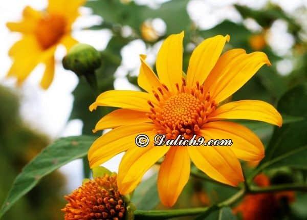 Tới Mộc Châu mùa hoa dã quỳ (tháng 10, tháng 11 và tháng 12): Nên đi du lịch Mộc Châu mùa nào, tháng mấy?