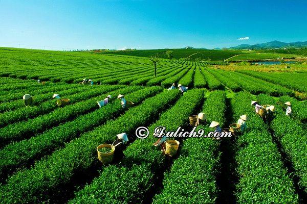 Đồi chè Mộc Châu - điểm tham quan nổi tiếng ở Mộc Châu: Địa điểm ngắm cảnh, check in cực đẹp ở Mộc Châu