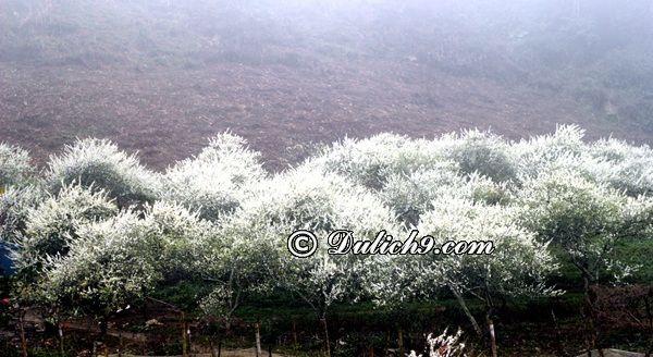 Thời gian lí tưởng ngắm hoa mận ở Mộc Châu