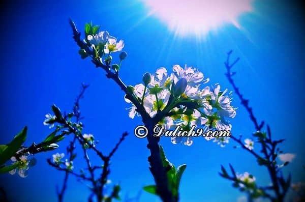 Ngắm hoa mận ở đâu tại Mộc Châu/ Địa điểm ngắm hoa mận ở Mộc Châu