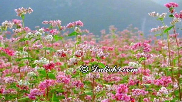 Kinh nghiệm đi Mộc Châu mùa hoa tam giác mạch: Phượt Mộc Châu mùa hoa tam giác mạch đi đâu chơi, tham quan, check in?