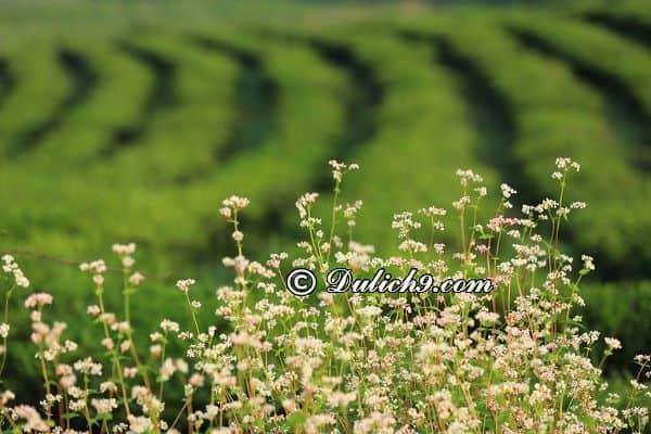 Hướng dẫn đi tham quan Mộc Châu mùa hoa tam giác mạch: Ngắm hoa tam giác mạch ở đâu Mộc Châu/ Địa điểm ngắm hoa tam giác mạch ở Mộc Châu