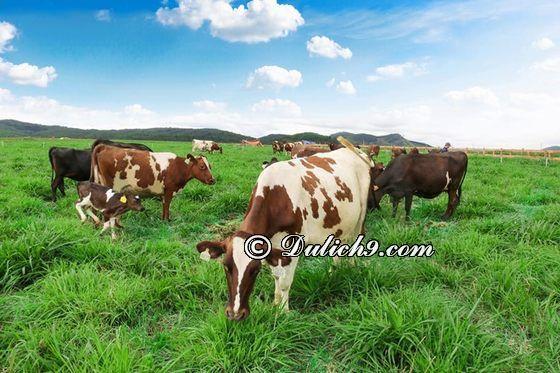 TớiĐà Lạt Milk Farm có gì chơi, tham quan?