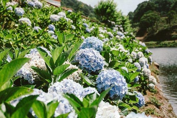 Địa chỉ vườn hoa cẩm tú cầu ở Đà Lạt cụ thể kèm mùa nở. Đà Lạt có vườn hoa cẩm tú cầu nào đẹp, nổi tiếng?