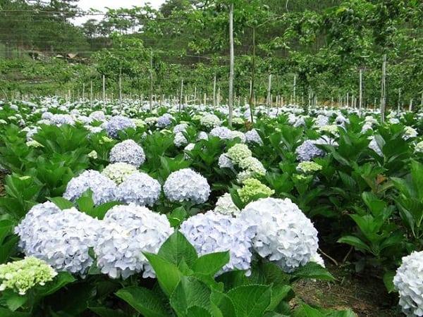 Địa chỉ vườn hoa cẩm tú cầu ở Đà Lạt cụ thể kèm mùa nở. Hướng dẫn du lịch hoa cẩm tú cầu ở Đà Lạt mùa hoa nở, đường đi, giá vé...