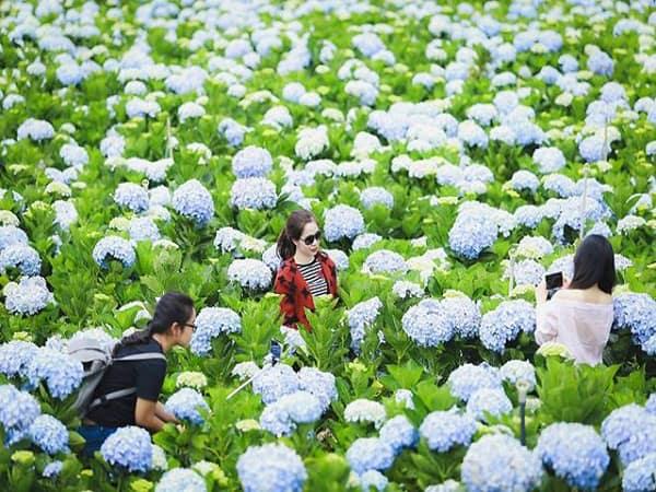 Địa chỉ vườn hoa cẩm tú cầu ở Đà Lạt cụ thể kèm mùa nở. Những vườn hoa cẩm tú cầu đẹp nhất Đà Lạt