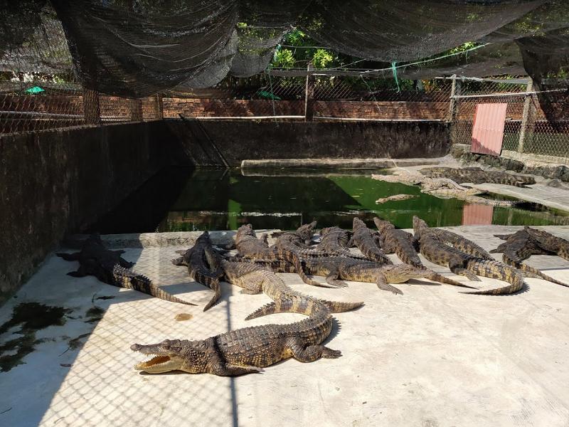 Nên đi đâu tham quan Phú Quốc? Địa điểm du lịch Phú Quốc. Trang trại cá sấu