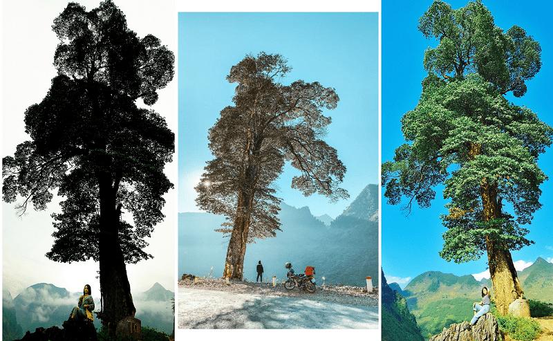 Địa điểm du lịch Hà Giang, cây thông cô đơn Hà Giang